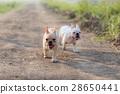 French bulldog 28650441