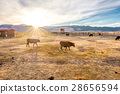 Cow on a field at sunset 28656594