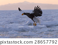 Steller's Sea Eagle, birds of prey, raptores 28657792