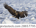 White-tailed eagle 28657795