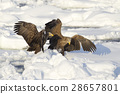 White-tailed eagle 28657801