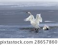 หงส์,ฤดูหนาว,นก 28657860