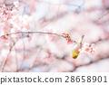 ดอกซากุระบาน,ซากุระบาน,ต้นซากุระ 28658901