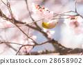ดอกซากุระบาน,ซากุระบาน,ต้นซากุระ 28658902