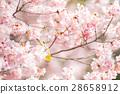 ดอกซากุระบาน,ซากุระบาน,ต้นซากุระ 28658912