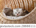 Kitten in basket 28666111