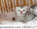 Kitten in basket 28666117