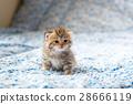 猫 猫咪 小猫 28666119