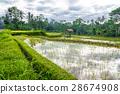 bali, paddy, field 28674908