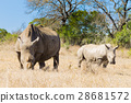 White rhinoceros with puppy, South Africa 28681572