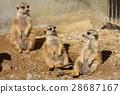 เมียร์แคท,สัตว์,ภาพวาดมือ 28687167