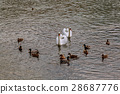 Family of Swans with Cygnets on a Lake 28687776