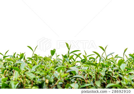 Green tea leaf isolated. 28692910