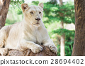 White lion lie down on the log. 28694402