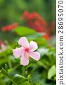 槿 假期 粉色鮮花 28695070