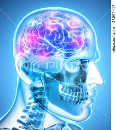 Human Internal Organic - Brain. 28696417