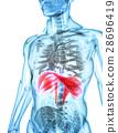 3D illustration of Diaphragm, medical concept. 28696419