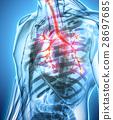 3D illustration of Larynx Trachea Bronchi. 28697685