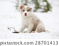 Border collie puppy looking at you 28701413