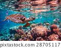 Hawksbill Turtle - Eretmochelys imbricata 28705117