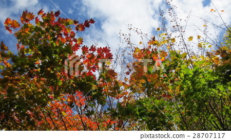red leafe, maple, yellow leafe 28707117