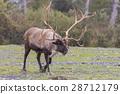 Barren Ground Caribou Bull 28712179