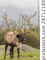 Barren Ground Caribou Bull 28712180