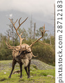 Barren Ground Caribou Bull 28712183