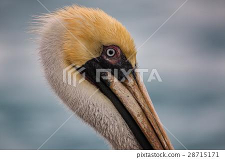 A Pelican Profile 28715171