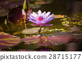 Water Lilly Blossom in Pond 28715177