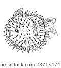 Blowfish or diodon holocanthus. Sketh illustration 28715474