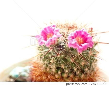 작은 선인장의 두장의 꽃 28720062