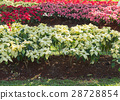 red and white poinsettia tree in garden 28728854
