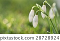 Spring flowers - snowdrops. Beautifully blooming. 28728924