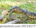Varanus salvator eating frog 28729277