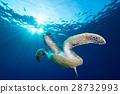 烏龜 水生的 水下 28732993