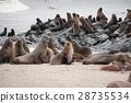 กลุ่มแมวน้ำป่า (Cape Cross, Namibia) 28735534