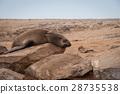 แมวน้ำนอนหลับ (Cape Cross, นามิเบีย) 28735538