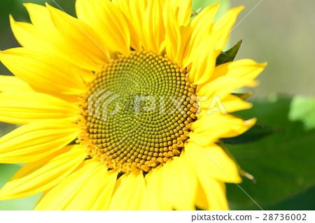 向日葵 太陽花 向陽花 日頭花 28736002