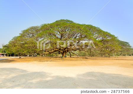 The Giant tree - Rain tree 28737566