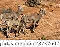 Desert Bighorn Sheep Ewe and Lamb 28737602