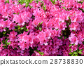 azalea, full bloom, rose bay 28738830