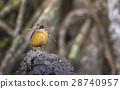 Mangrove Pitta making the nest 28740957