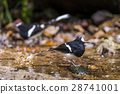 White-crowned Forktail 28741001
