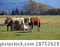 Highland cattle at the farm look at camera 28752628