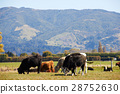 Highland cattles at the farm eating grass 28752630