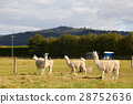 Four alpacas relaxing at the farm 28752636