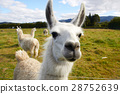 Alpaca at the farm 28752639