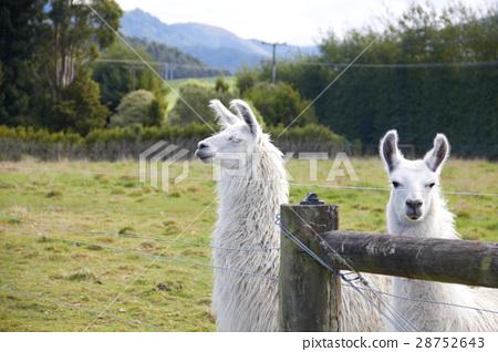 Alpaca looking at camera 28752643