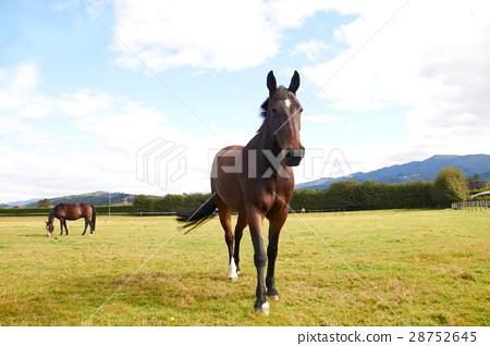 Horse walking towards camera 28752645